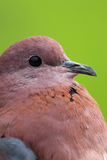 Closeup of stock dove. Over green background Royalty Free Stock Photography