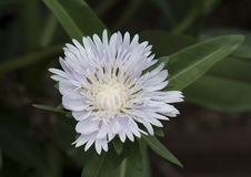 Closeup Stokesia Laevis Divinity flower Stock Photo
