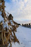 Stooked corn stalks lined up in the field on a peaceful evening in the snow. Closeup of stook of corn in row during cold winter evening with heavenly sky and royalty free stock photography