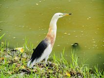 Closeup Stork Bird In The Park Royalty Free Stock Photos