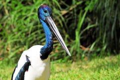 Closeup of a Stork (horizontal) Stock Photography