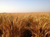 Field of Golden Wheat on a Sunny Day Royalty Free Stock Photo
