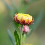 Closeup Straw flower (Everlasting) Stock Photos