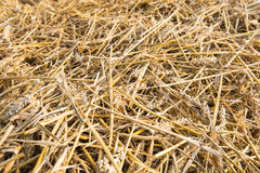 Closeup of straw after harvesting wheat Royalty Free Stock Image