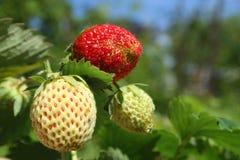 Closeup strawberries Stock Photo