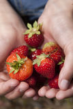 Closeup of strawberries. Stock Photography