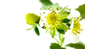 Closeup strawberry flower in pot. Unripe berry. Macro on white background stock image