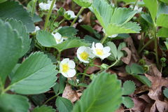 Closeup of strawberry plants in bloom Royalty Free Stock Photos