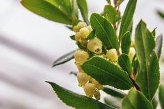 Strawberry tree flowers. Closeup of the Strawberry tree Arbutus unedo flowers. Copy space royalty free stock photos