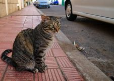 Striped cat with broken ear. Closeup of a striped cat with broken ear sitting on the sidewalk of red tiles royalty free stock photos
