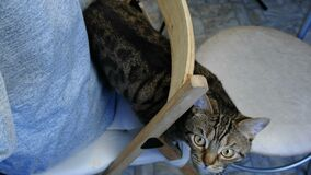 Closeup of a striped cat on a chair behind the owner. Closeup of a striped cat on a chair behind the owner stock footage