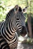 Closeup of Striped Zebra. Closeup shot of a black and white striped zebra Stock Photo