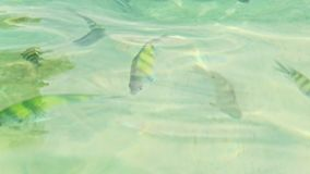 Closeup Stripy Fish in Transparent Azure Water with Gleams. Closeup small stripy fish in shallow transparent azure ocean water with gleams under bright sun beams stock footage
