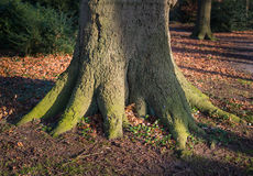 Closeup of a strong root system. The bottom of a very large tree with a strong root system in park during the autumn season Stock Photography