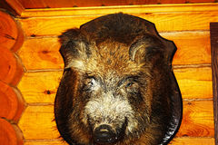Closeup stuffed wild boar head with big fangs hanging on wooden wall. Royalty Free Stock Photography