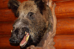 Closeup of stuffed wild boar head with fangs hanging Stock Photography