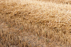 Closeup of a stupple field after harvesting wheat Royalty Free Stock Image