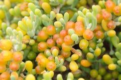 Closeup of a succulent plant Stock Images