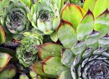 Closeup of succulents in a rock garden. Royalty Free Stock Photos