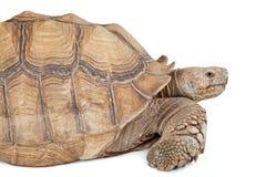 Closeup of Sulcata Tortoise Royalty Free Stock Image