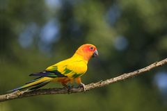 Closeup of sun parakeet or sun conure Aratinga solstitialis, bir. D. It is a medium-sized, vibrantly colored parrot native to northeastern South America Royalty Free Stock Photography