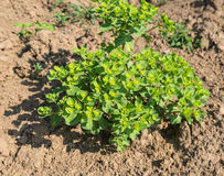 Closeup of a Sun Spurge plant in the soil. Fresh flowering Sun Spurge or Euphorbia helioscopia growing in sunlight at fallow earth stock photos