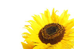 Closeup of a sunflower Royalty Free Stock Photo
