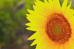 Closeup of a sunflower Royalty Free Stock Photography