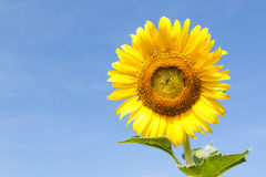 Closeup of sunflower against blue sky Royalty Free Stock Image