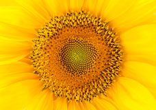 Closeup of sunflower Royalty Free Stock Images