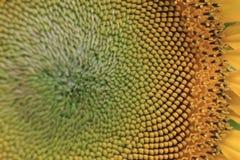 Closeup sunflower Stock Image