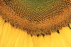 Closeup sunflower Royalty Free Stock Photography