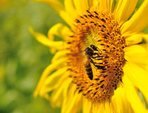 Closeup Sunflower with bee. Closeup beautiful sunflower with bee Royalty Free Stock Images