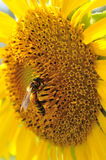Closeup Sunflower with bee. Closeup beautiful sunflower with bee Stock Photography