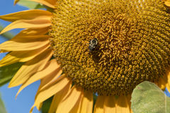 Closeup of a Sunflower and a Bee. Closeup of a bee pollinating a large sunflower Royalty Free Stock Photos