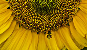 Closeup sunflower and bee flying collect pollen Stock Photo