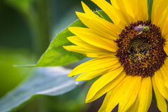 Closeup Sunflower with Bee. Horizontal close up photo of a bright yellow sunflower and green leaves with a metallic green bee pollinating the flower in its brown Royalty Free Stock Photo