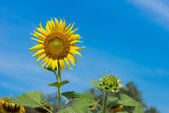 Closeup of sunflower are blooming and buds. On background blue sky as blur stock image
