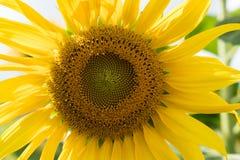 Closeup of sunflower Royalty Free Stock Photos
