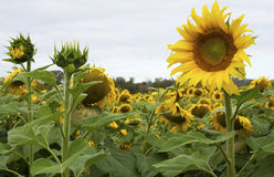 Closeup Sunflower Blooms tower over the patch. Royalty Free Stock Photography