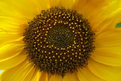 Closeup of a sunflower in blow.  Royalty Free Stock Photos