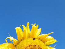 Closeup Sunflower with blue sky background in the FingerLakes region in NYS Royalty Free Stock Photo
