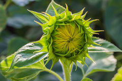 Closeup of sunflower bud Stock Image