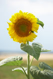 Closeup of sunflower in field Royalty Free Stock Photos
