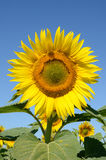 Closeup sunflower on the field Stock Image