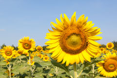Closeup of a sunflower in the field Royalty Free Stock Photos