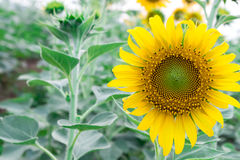 Closeup sunflower on the field Stock Images