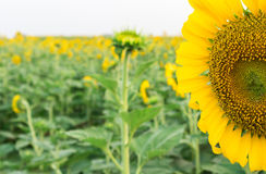 Closeup sunflower on the field Royalty Free Stock Photos