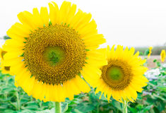 Closeup sunflower on the field Stock Photography