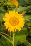 Closeup Sunflower field. Stock Photography